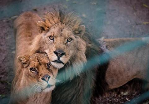 Vier Pfoten Löwen